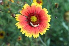 Caterpillar on a Zinnia flower Stock Photos