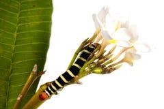 caterpillaren blommar white arkivbilder