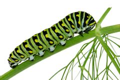 caterpillaren isolerade swallowtail Royaltyfri Bild