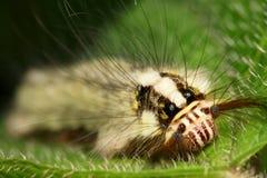caterpillarframsidamakro Arkivfoto