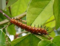 caterpillarfritillarygolf Royaltyfri Fotografi