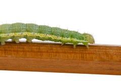caterpillargreen Royaltyfri Foto