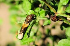 caterpillarjätteswallowtail Arkivfoto