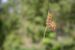 caterpillarkrypning arkivfoton