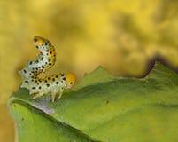 caterpillarleaf Arkivbilder