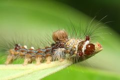 caterpillarmakro Royaltyfria Bilder