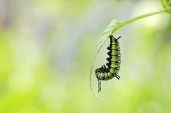 caterpillarpupa till att vända Royaltyfri Fotografi