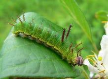 caterpillarpurple Fotografering för Bildbyråer