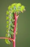 caterpillarredstem Fotografering för Bildbyråer