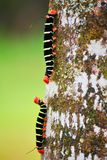 Caterpillars Stock Photography