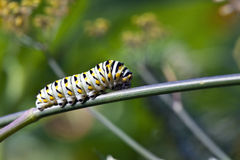 Caterpillars Royalty Free Stock Photos