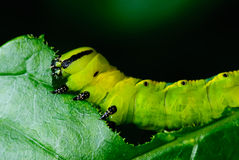 Caterpillars Arkivbild