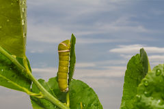 caterpillars photos libres de droits