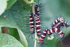 caterpillars Fotografia Stock Libera da Diritti