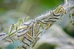 Caterpillars Royalty Free Stock Photography