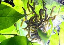 Caterpillars codling moth Stock Images