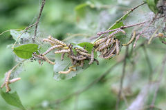 Caterpillars codling moth Royalty Free Stock Images