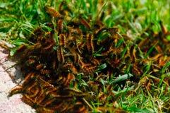 Caterpillars. Colony nest of caterpillars among grass royalty free stock image