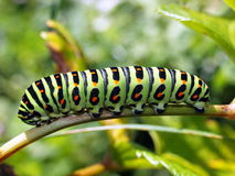 Caterpillars of day time butterflies Royalty Free Stock Photography