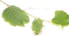 Caterpillars devour a leaf. Stock Photos