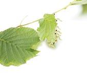 Caterpillars devour a leaf. Stock Photo