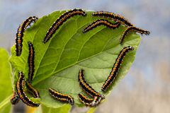 Caterpillars devour the leaves Stock Image