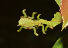 Caterpillars devouring the leaf. Caterpillars team eating a leaf on the dark background Stock Images