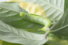 Caterpillars eat leaves Stock Photography
