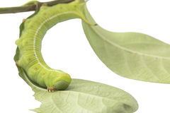 Caterpillars eat leaves isolated on white background Royalty Free Stock Photos