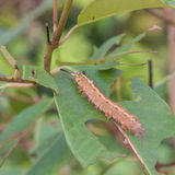 Caterpillars eat leaves. Many caterpillars destroy the green leaves on a branch royalty free stock images