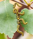 Caterpillars Stock Images