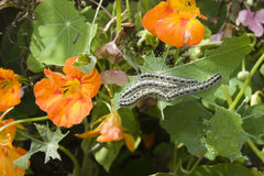 Free Caterpillars Eating Green Leaves Stock Photo - 29736500