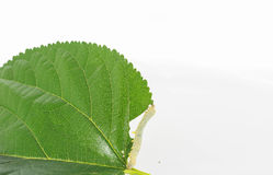 Caterpillars. Eating mulberry leaves on a white background Royalty Free Stock Images