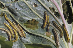 Caterpillars eating vegetable leaf Stock Images