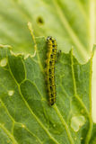 Caterpillars Eating Royalty Free Stock Photos