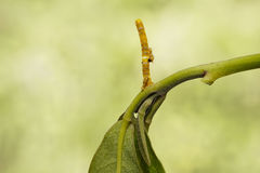 Caterpillars and eggs of banded swallowtail butterfly (Papilio d Royalty Free Stock Photography