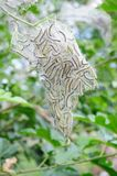 Caterpillars emerging from the tent Stock Photography