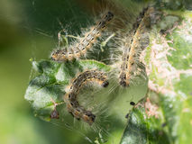 Caterpillars feast Royalty Free Stock Images