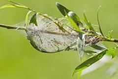 Caterpillars form communal web Stock Photos