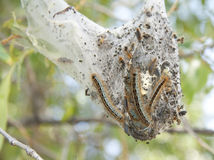 Caterpillars hatching. Suspended in the branches of a tree, a communal caterpillar tent after hatching stock images
