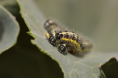 Caterpillars from the Large White Butterfly Royalty Free Stock Photo