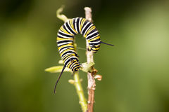 Caterpillars are the larval form of members of the order Lepidop Stock Photos
