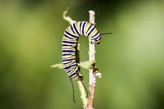 Caterpillars are the larval form of members of the order Lepidop Stock Photo