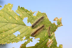 Caterpillars on the leaves Royalty Free Stock Photo
