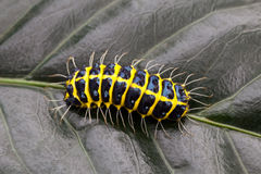 Caterpillars on leaves Royalty Free Stock Photos