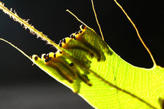 Caterpillars. Many of the caterpillars eating leaves Royalty Free Stock Photo