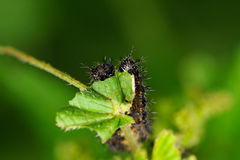 Caterpillars of map butterfly Royalty Free Stock Photo