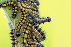 Caterpillars on Nettles Stock Photo