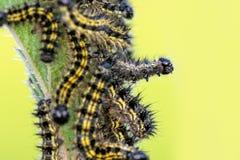Caterpillars on Nettles Stock Photo