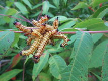 Caterpillars on Rhus Glabra (Smooth Sumac) Bush. Stock Image